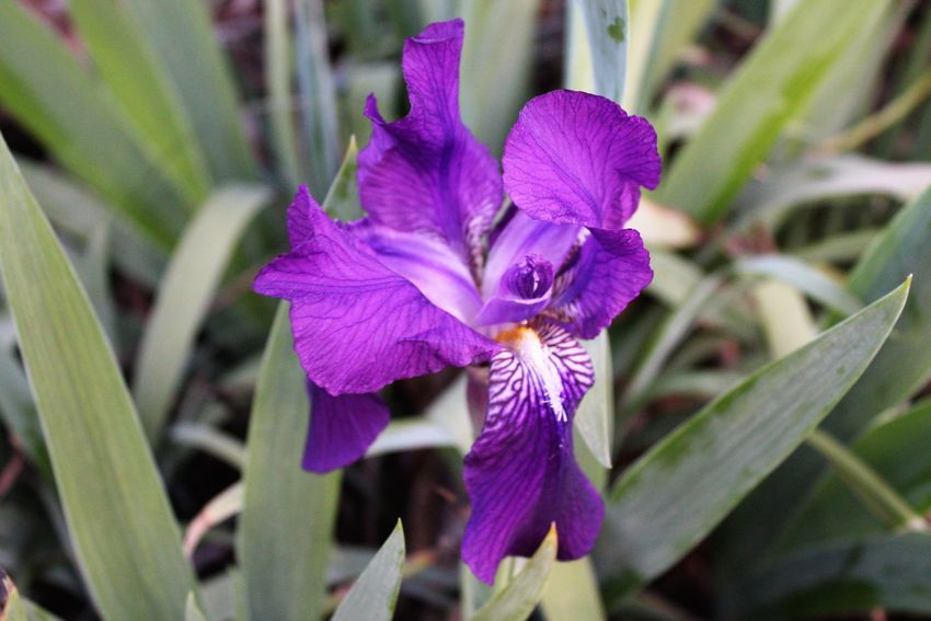 Spring 2018 Wildflowers and Blooms Bearded Iris Beauty In Nature Blooming Close-up Day Flower Flower Head Focus On Foreground Fragility Freshness Growth Iris - Plant Nature No People Outdoors Petal Plant Purple