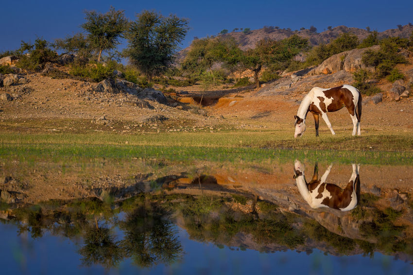Beautiful Grazing India Indian Mare Animal Animal Themes Day Domestic Animals Herbivorous Horse Indian Horse Lake Landscape Marwari Nature No People Outdoors Reflection Reflections In The Water Skewbald Skewbald Horse Tobiano Tree Water #FREIHEITBERLIN The Great Outdoors - 2018 EyeEm Awards The Traveler - 2018 EyeEm Awards
