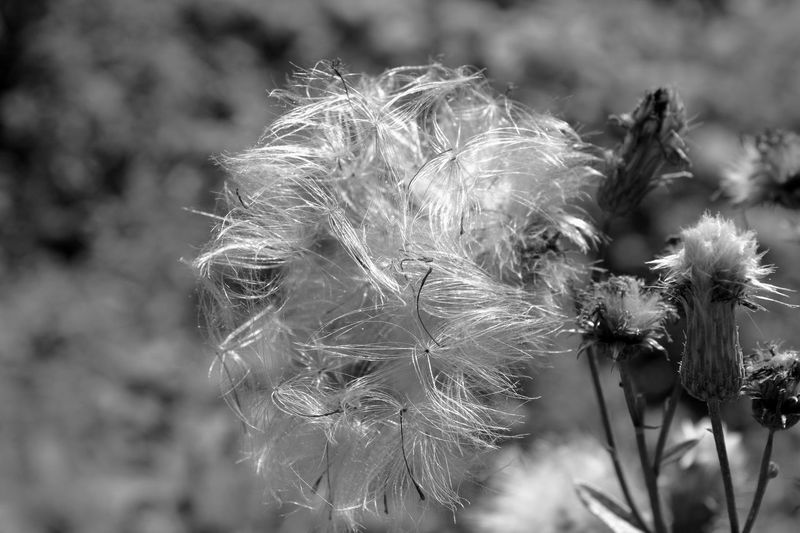 Flower Nature Plant Softness Uncultivated Fragility Beauty In Nature Wildflower Outdoors Day No People Freshness Flower Head Wildflower White Black & White Black And White Blackandwhite Beauty In Nature HJB Planzen Blumen Natur