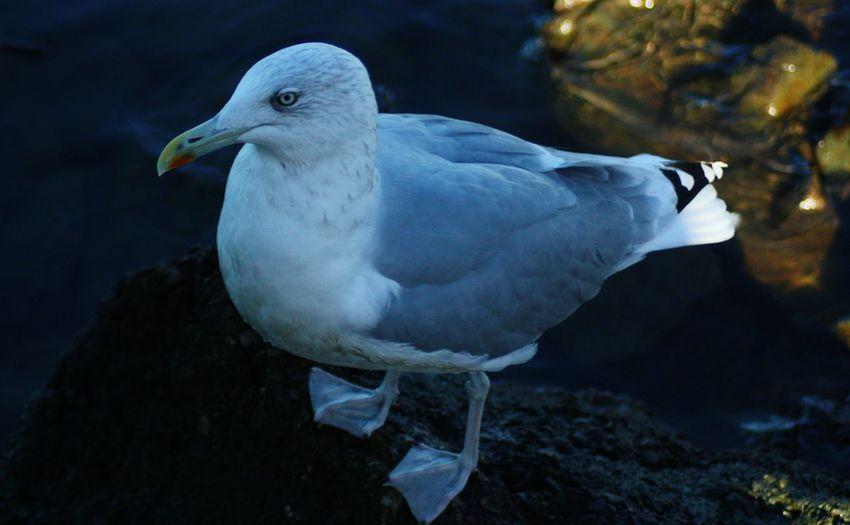 Bird Close-up Beak Sweden Dark Water Beauty In Nature Seagull