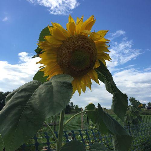 Sunflower Yasgurfarm Check This Out Woodstock Bethel 🌻🌻🌻