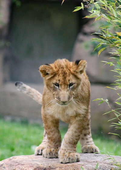 View of a young lion on land