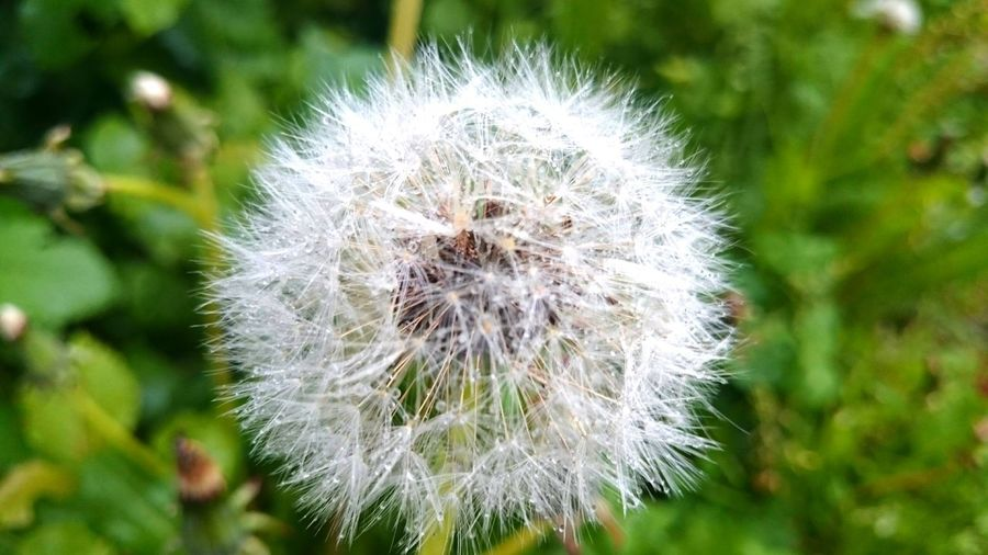 Dandelion Nature Flower Fragility Growth Close-up Beauty In Nature Plant Softness Focus On Foreground Day No People Outdoors Flower Head Freshness