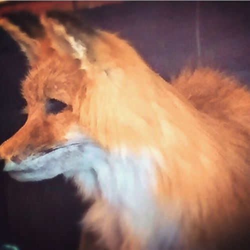 Extreme Close Up Fox🐺 Not Real Animal Head  Fox's Pizza
