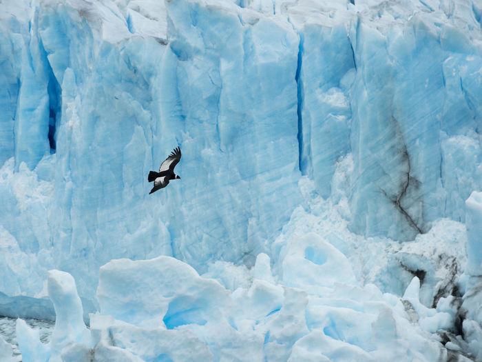 A condor flying over perito moreno glacier