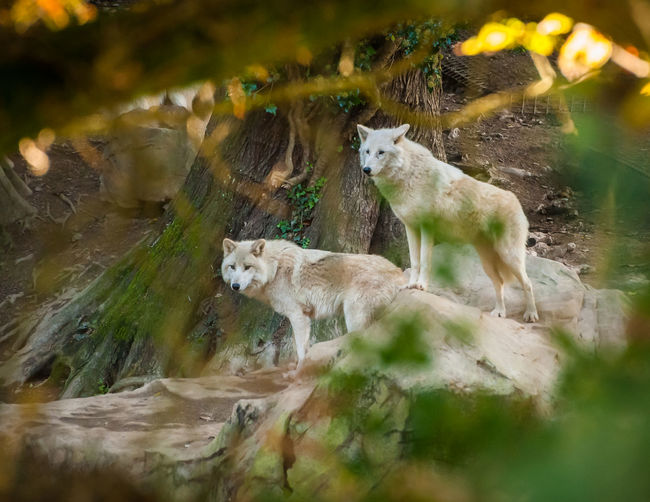 White Wolves Animal Themes Animals In The Wild Day Mammal Nature No People Outdoors Two Animals Water White Wolves Wolves In Forest