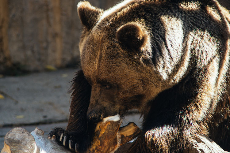Close-Up Of Grizzly Bear With Wood In Zoo
