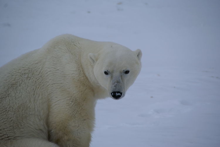 Close-Up Of Polar Bear On Snow Covered Field