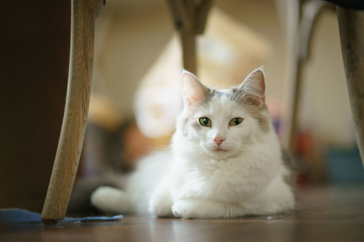 Portrait of white cat at home
