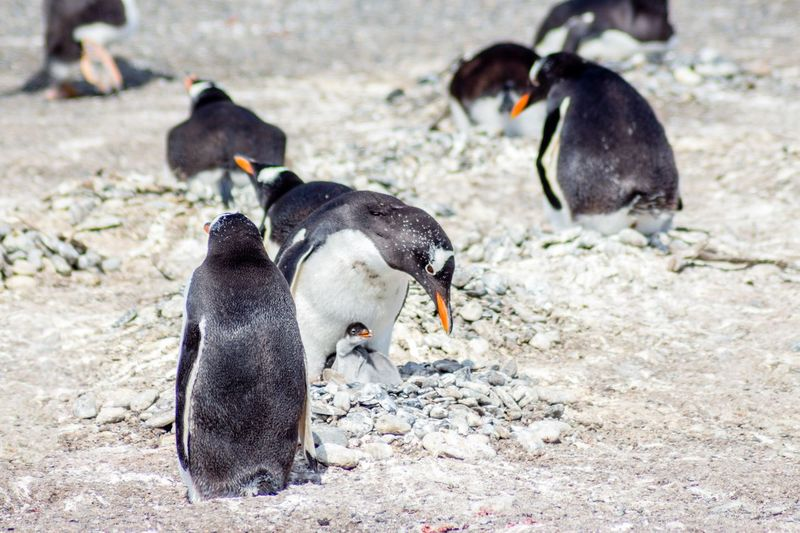 Pinguin Couple