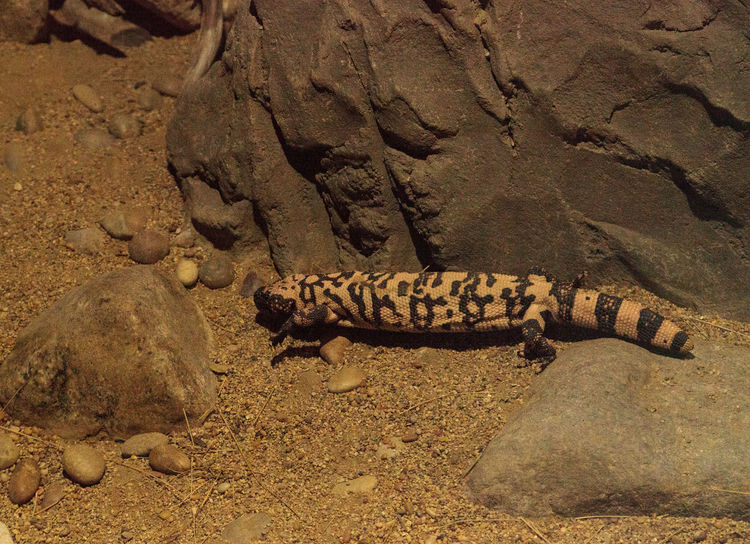 Gila monster, Heloderma suspectum, crawling over rocks in a desert environment. Animal Themes Animals In The Wild Day Desert Gila Gila Monster Heloderma Suspectum Mexico Nature No People Outdoors Reptile