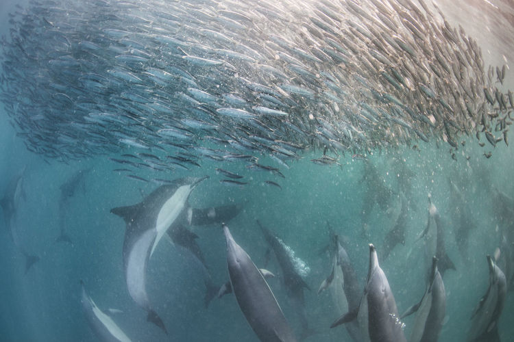 Dolphins hunting school of fish in sea