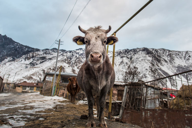 Animal Themes Beauty In Nature Caucasus Cloud - Sky Cold Temperature Cow Day Farm Animals Humor Kazbegi Landscape Low Angle View Mammal Mountain Mountain Range Nature No People Outdoors Perspective Sky Snow Stepantsminda Village Winter