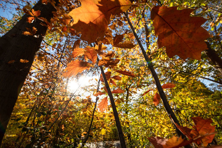 Autumn Tree Plant Leaf Change Plant Part Low Angle View Branch Nature Day Orange Color Beauty In Nature No People Growth Outdoors Sunlight Forest Tranquility Maple Leaf Close-up Leaves Autumn Collection Tree Canopy  Directly Below Fall