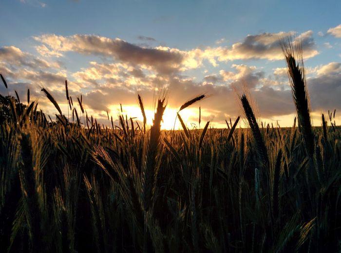 Canola Field Canolaflower Canola Crops  Rapeseed Rapeseed Field Golden Sunset Sky Dark Sun Copy Space Germany German Horizont