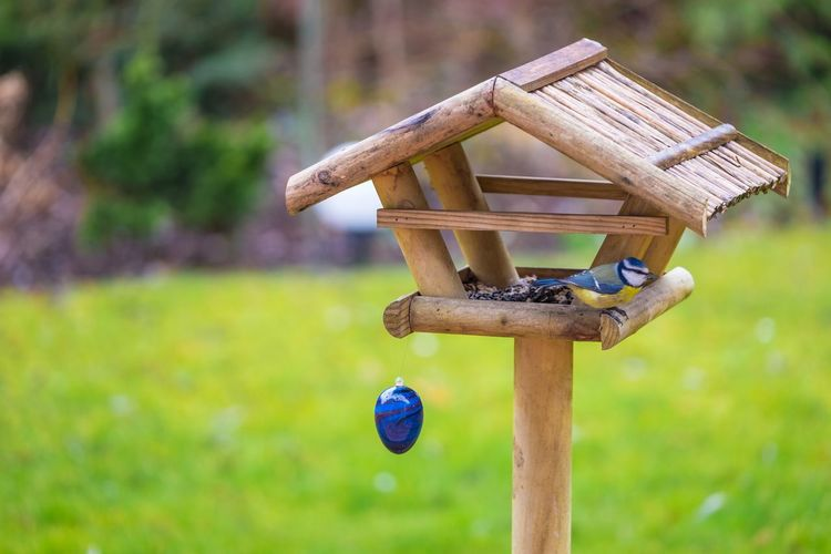 Little blue tit having an easter feast // Bird Bird House Bird Photography Copy Space Day Easter Easter Eggs Feeding The Birds Garden Grass Grassy Green Color Lawn Nature Nature Nature On Your Doorstep Nature Photography Outdoors Roof Season  Selective Focus Spring Watching Wood - Material Wooden