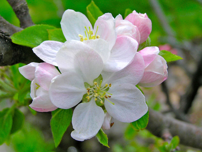Agriculture Apple Blossom Apple Tree Beauty Beauty In Nature Bloom Blooming Close-up Day Flower Flower Head Flowers Fragility Freshness Fruit Growth Malus Malus Domestica Nature No People Outdoors Petal Plant Plantation Rhododendron