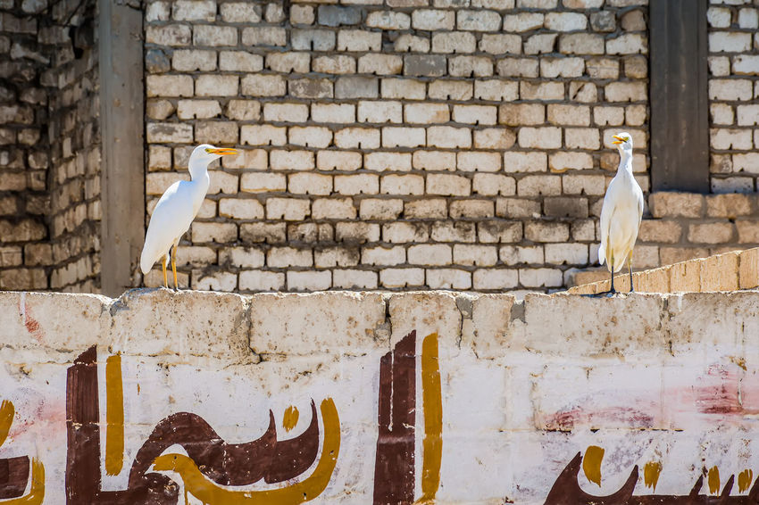 2 Birds Adapted To The City Animal Themes Arabic Handwriting خـط عـربـي Bird Birds Built Structure Cattle Egret Check This Out Domestic Animals Egypt Exceptional Photographs EyeEm Best Shots First Eyeem Photo Graffitti Hanging Out Hello World Popular Photos Standing Street Photography Streetphotography Taking Photos Two Birds Wall Miles Away The Great Outdoors - 2017 EyeEm Awards The Architect - 2017 EyeEm Awards The Street Photographer - 2017 EyeEm Awards Pet Portraits