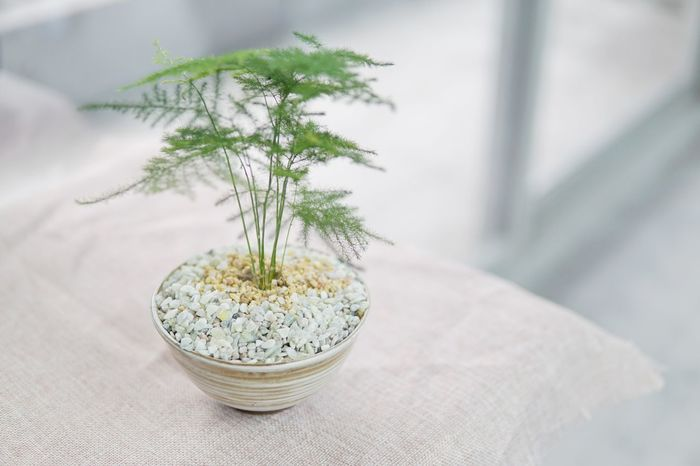 Green On My desk Asparagus Fern Fragility Green Green Color Growth Leaf Nature Potted Plant Selective Focus
