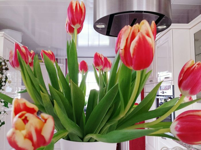 Flower Red Tulip Plant Leaf Freshness Petal Indoors  Archival Food Nature No People Day White Background Kitchen Decoration Dunstabzugshaube Pearls Home Decor Bunch Of Tulips LadyphotographerofthemonthStill Life Spring Flower Blooming Close-up Flower Head Place Of Heart