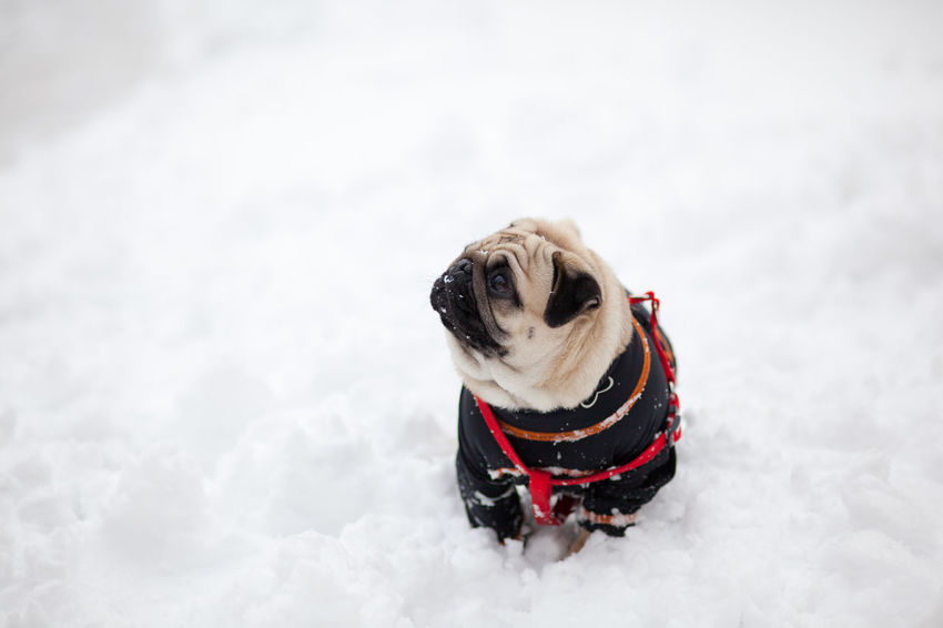 pug in the snow Carlino Cute Dog Doggy Love Pug Puggy Puglife Pugs Puppy Snow
