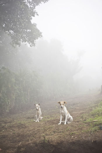 Two dogs in Aqua Escondida, a remote mayan village, in Solola department in Guatemala, Central America Guatemala Latin America Perrros Animal Portrait Animal Themes Beauty In Nature Day Dog Domestic Animals Field Fog Foggy Grass Landscape Mammal Mountain Nature No People Outdoors Pets Sky Tree Vertical