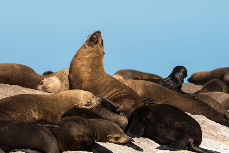 Seals relaxing against clear blue sky