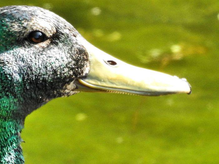 Water Swimming Beak Portrait Eye Animal Body Part