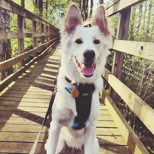 Dyson enjoying his evening walk Dogwalk Evening Walk Dogs Of EyeEm Stroll Cute Pets Petsofeyeem Bestdogever DoggyLove