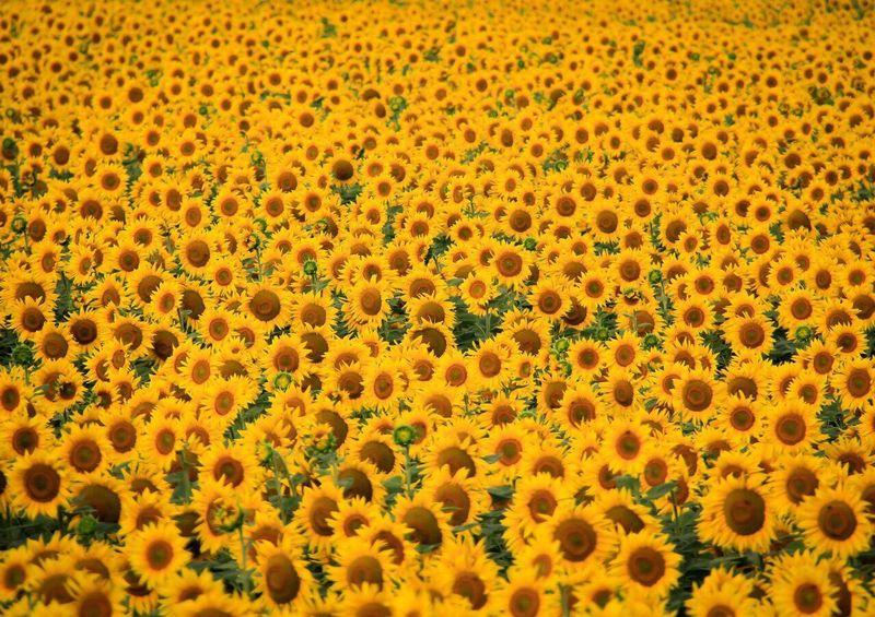 Sunflowers🌻 Sun Summer Summertime
