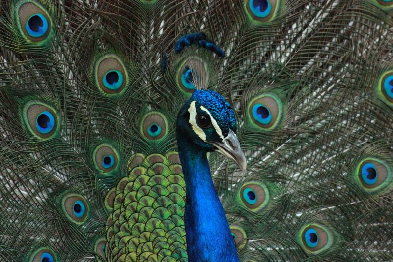Peacock Peacock Feather Fanned Out Feather  Bird One Animal Animal Wildlife Animal Themes Animals In The Wild Blue Close-up Showing Beauty In Nature Animal Head  Multi Colored Pride Animal Crest Full Frame No People Green Color