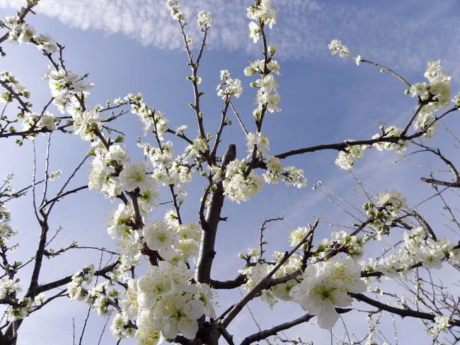 Flower Nature Tree Growth Beauty In Nature Branch Springtime Blossom Apple Blossom Low Angle View Twig Fragility No People Sky Outdoors Apple Tree Close-up Freshness Day Cherry Tree Plum Tree Explosion Pastel Colors White And Blue Light Blue Sky EyeEmNewHere EyeEmNewHere