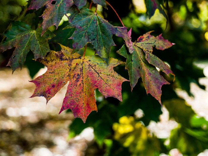 Sycamore Leaf Autumn Beauty In Nature Change Close-up Day Focus On Foreground Green Color Growth Leaf Leaf Vein Leaves Maple Leaf Natural Condition Nature No People Outdoors Plant Plant Part Selective Focus Tree Vulnerability