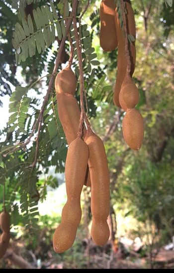 Tamarindus indica - Indian tamarind Tamarind Tamarind Tree Tamarindus Indica Sour Sour Taste Flavouring Agent Food Porn Foodphotography Indian Culture  EyeEm EyeEm Gallery Eyeem Market Getty Getty+EyeEm Collection Gettyimages Eyeemphotography Getty Image-collection Fruit Photography Fruitporn Nutritious Garden Photography EyeEm Nature Lover EyeEm Best Shots Hanging Fruit Rind Brown Fruits Food And Drink Tree Branch Close-up