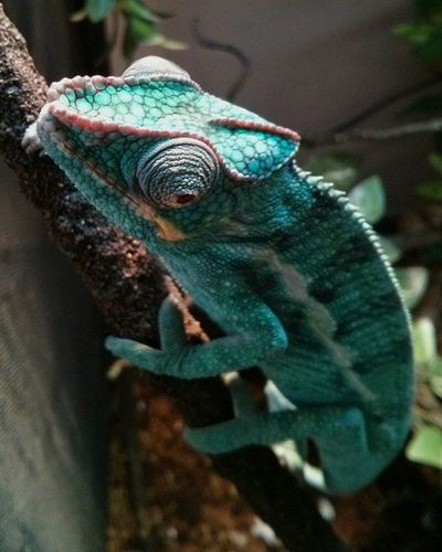 Simply chill Panther Chameleon Animals In The Wild One Animal No People Green Color Chameleon Nature