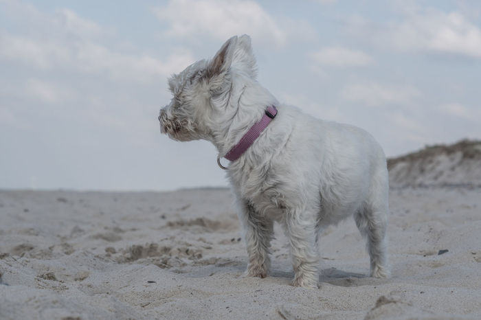 Animal Themes Beach Day Desaturated Dog Domestic Animals Focus On Foreground Full Length Mammal Nature No People One Animal Outdoors Pets Sand Sand Dune Sky West Highland White Terrier