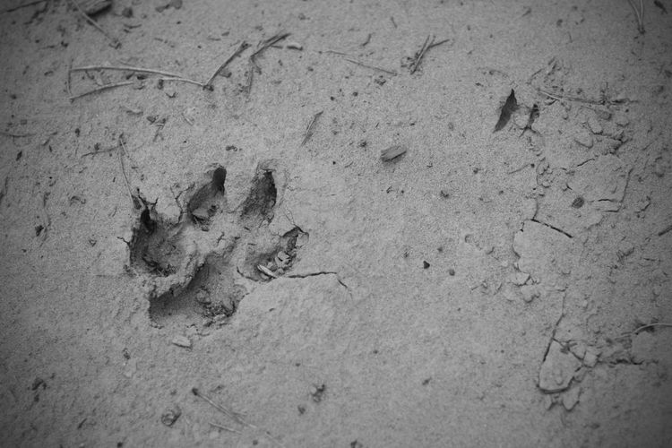 След Animal Themes Animals FootPrint Animal Track Paw Print High Angle View No People Outdoors Day Sand Nature Close-up