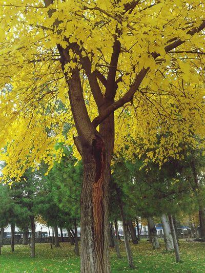Autum.. Denizli Türkiye Yellow Tree