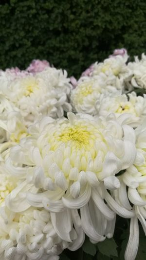 Flower White Color Fragility Petal Freshness No People Flower Head Close-up Plant Beauty In Nature Yellow Springtime Nature Peony  Day Outdoors
