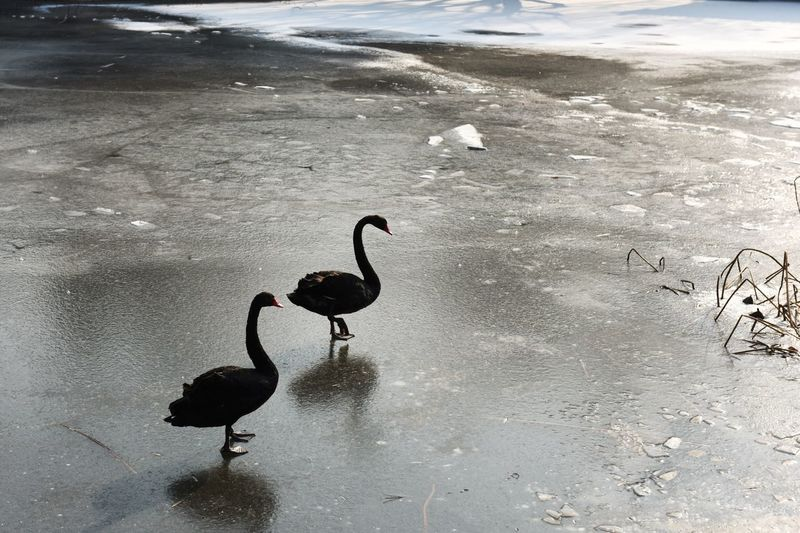Close-Up Of Swans On Frozen Lake