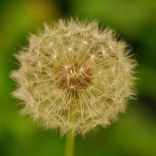 Dandelion Weed Seed Head Hairy Seeds Rounded Clusters Dandelion Seed Head Dandelionclock Dandelionfluff Wet The Bed Dent De Lion Asteraceae Family