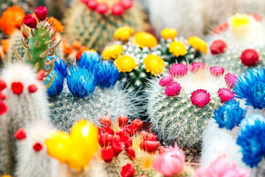 Festival of colors Colors Colorful Cactus Flowers Flowerporn EyeEm Best Shots - Flowers Closeup Bokeh EyeEm Nature Lover Streetphotography