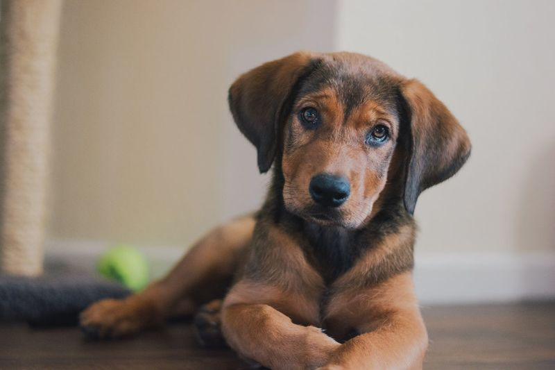 Puppy Dog Eyes Cute Coonhound German Shepherd Redbone Coonhound Puppy Canine Dog One Animal Domestic Pets Domestic Animals Mammal Animal Portrait Indoors  Home Interior No People Brown Close-up Young Animal Looking At Camera