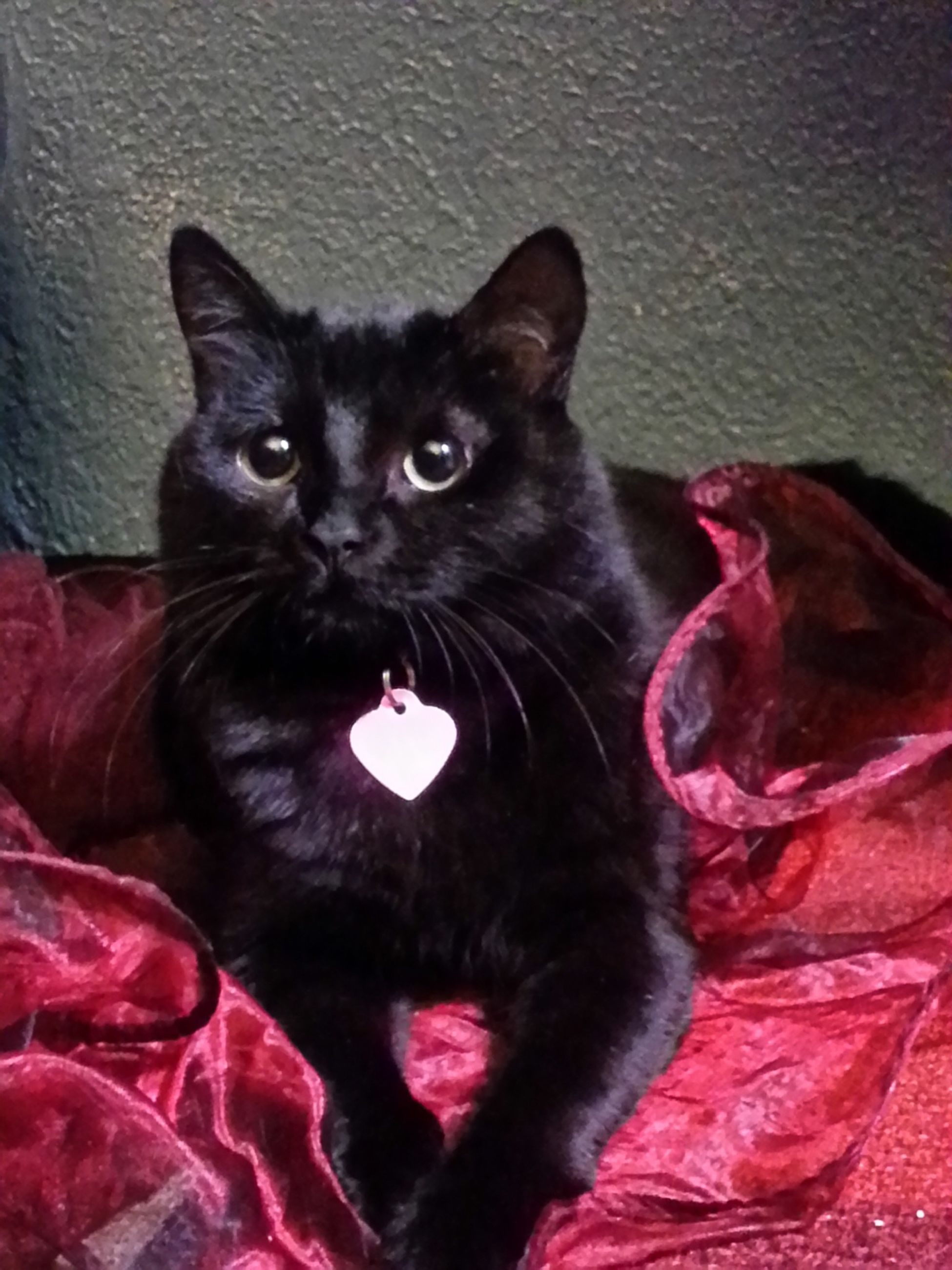 indoors, pets, domestic animals, animal themes, domestic cat, one animal, mammal, cat, black color, looking at camera, portrait, feline, red, home interior, relaxation, bed, close-up, high angle view, sofa, whisker