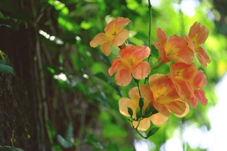 Summer shades. Chinese Trumpet Vine Chinese Trumpet Creeper Flowers Flowerporn Summertime Light And Shadow Hello World Taking Photos Fujifilm_xseries