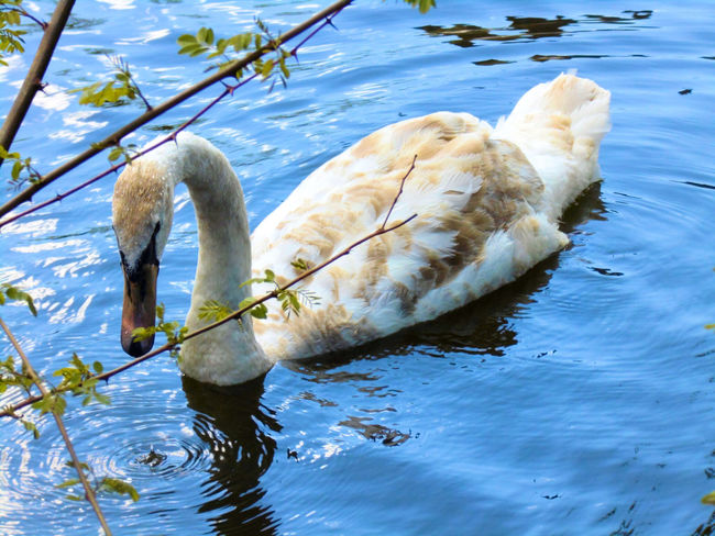 Swan Lake White Swan Animal Themes Animal Wildlife Animals In The Wild Bird Close-up Day Foraging Lake Lake View Lakeshore Nature No People One Animal Outdoors Reflection Swan Swans On The Lake Swimming Swimming Birds Water Water Bird Water Bird Close-up Waterfront