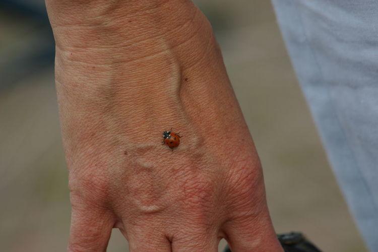 Beetle Bug Close-up Hand Ladybird Nature