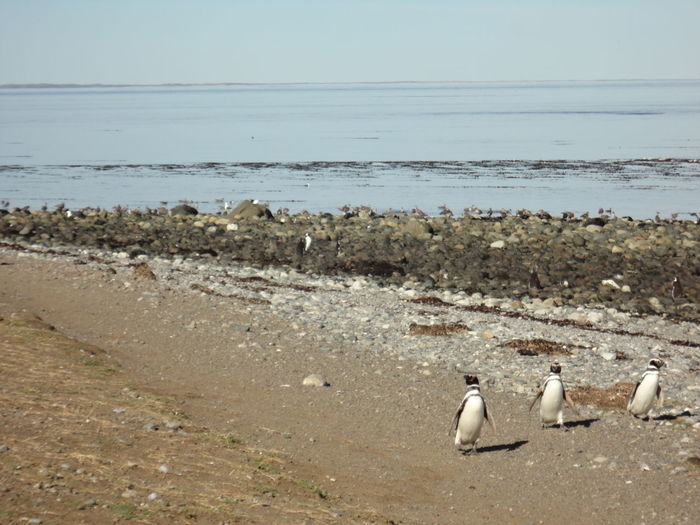 Penguins on shore at beach in isla magdalena national park against sky