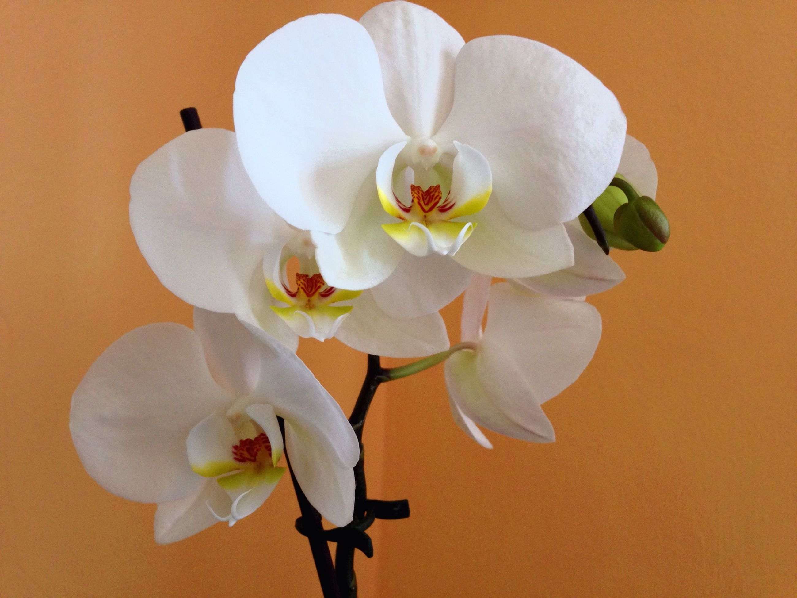 flower, petal, white color, fragility, flower head, freshness, beauty in nature, growth, close-up, nature, white, orchid, stamen, blooming, in bloom, pollen, indoors, blossom, stem, no people