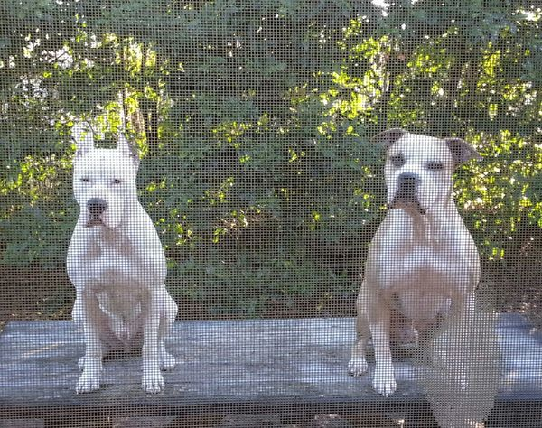 My Dogs Are Cooler Than Your Kids Pitbull Lover Pitbulls Muraco&Boss My boys are my babies ♥